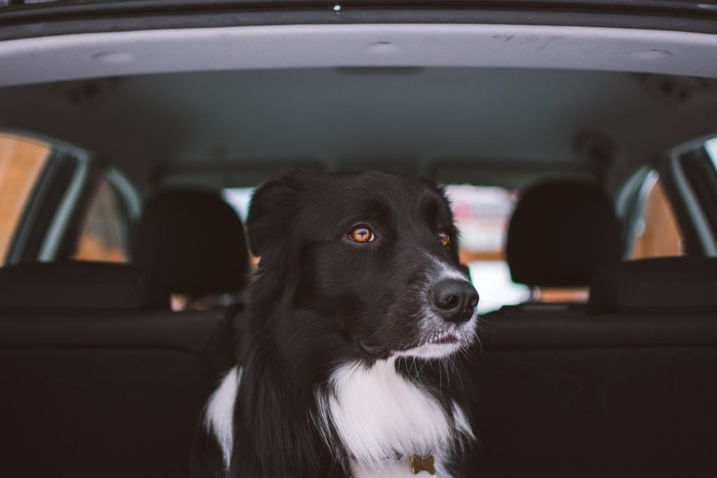 Beautiful dog in the back of a car.